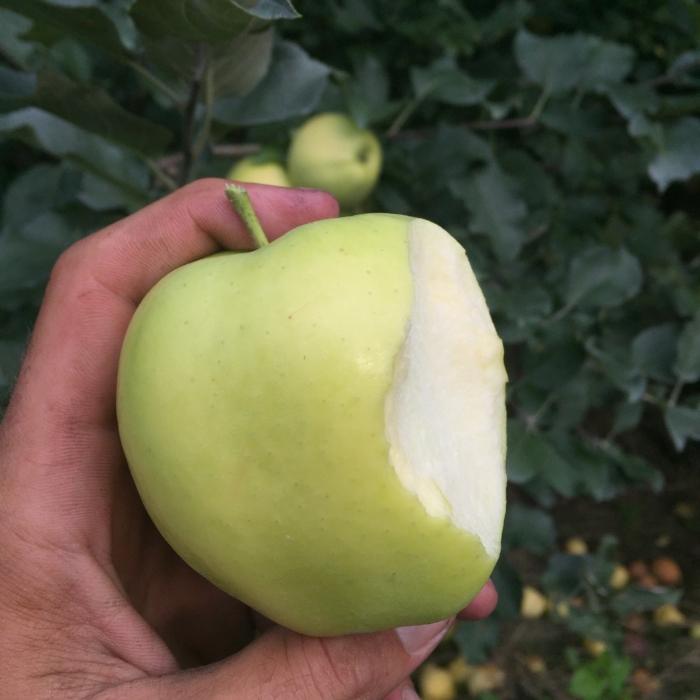 Gingergold Pick Your Own Apples Hudson Valley Rose Hill Farm