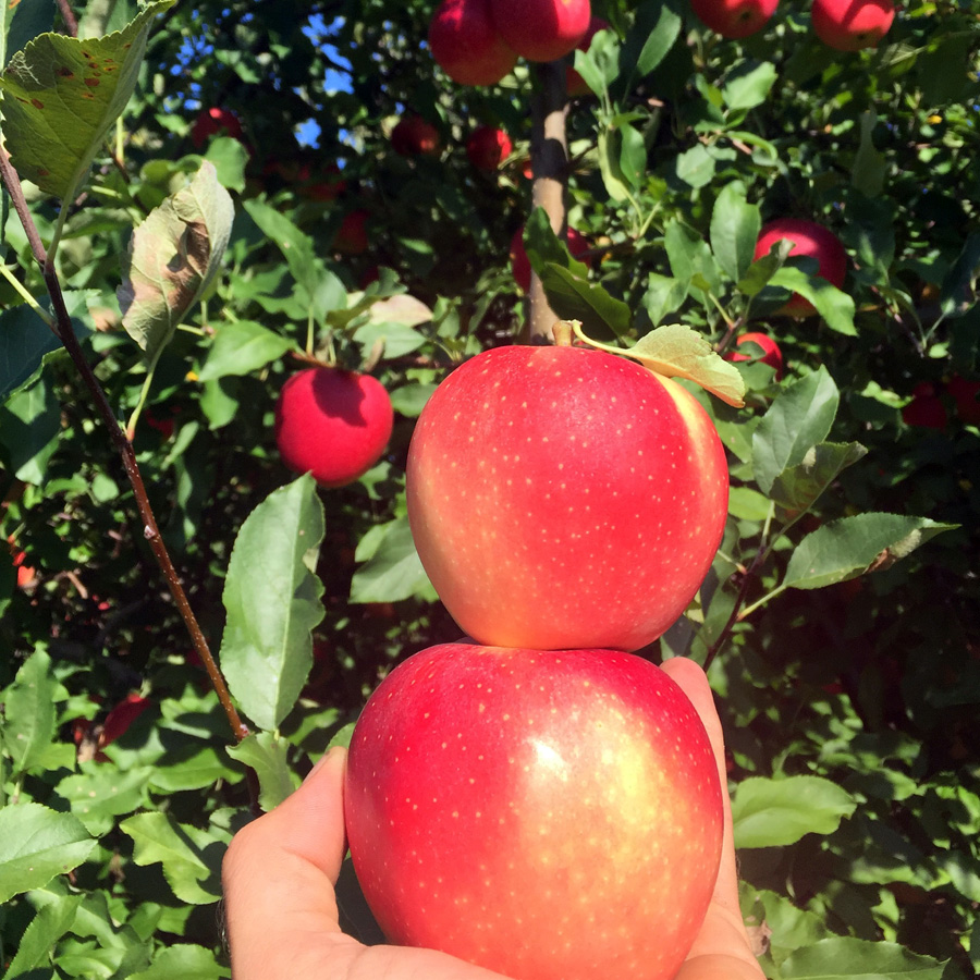 Apple Picking Rose Hill Farm Hudson Valley Pick Your Own Apple Orchard