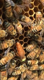 Honeycomb bee detail