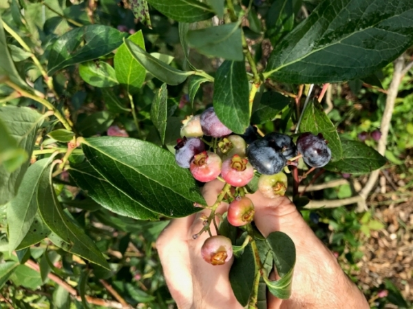 Rose Hill Farm blueberries ripen throughout July and August