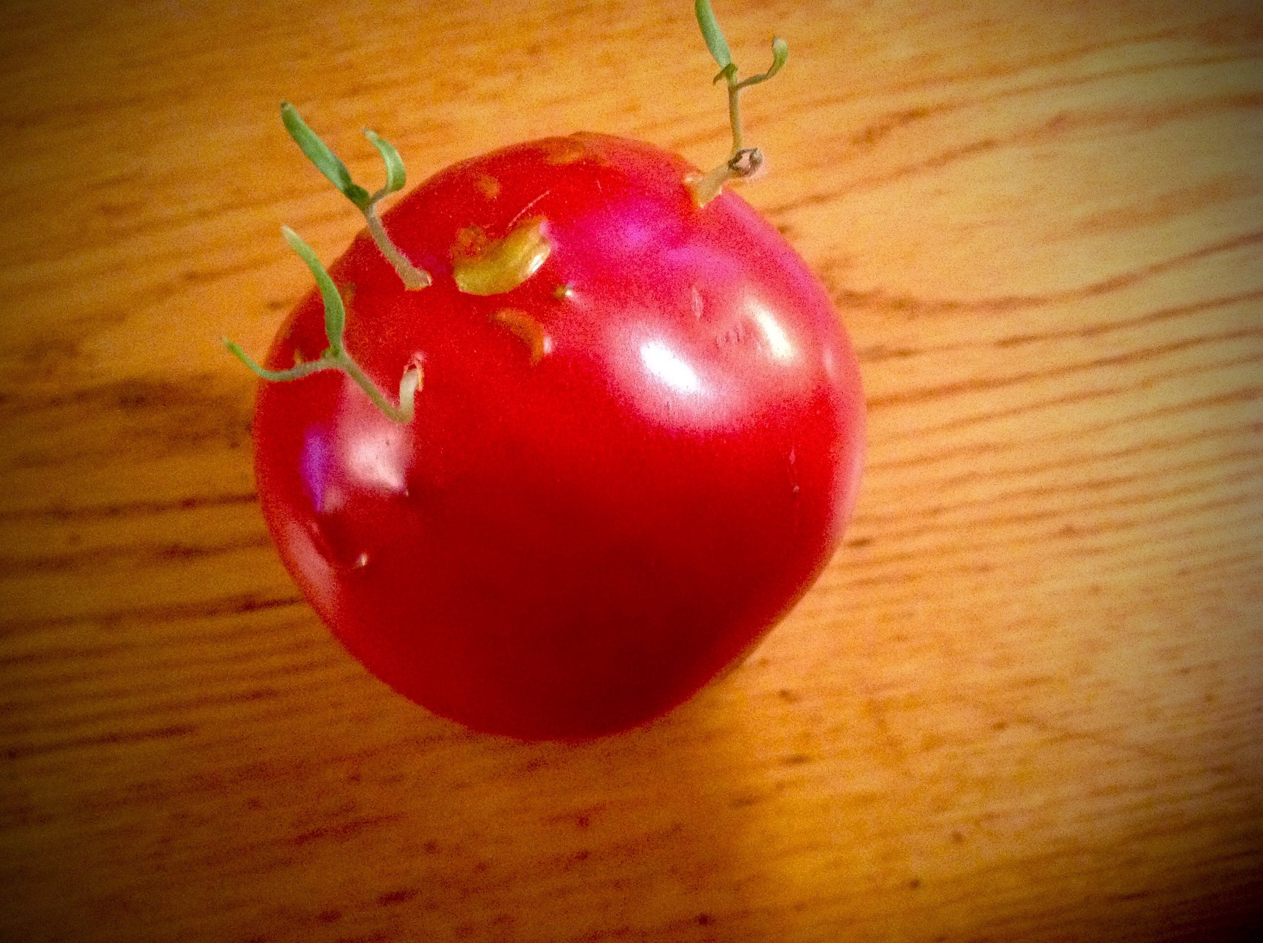 David's sprouting tomato.