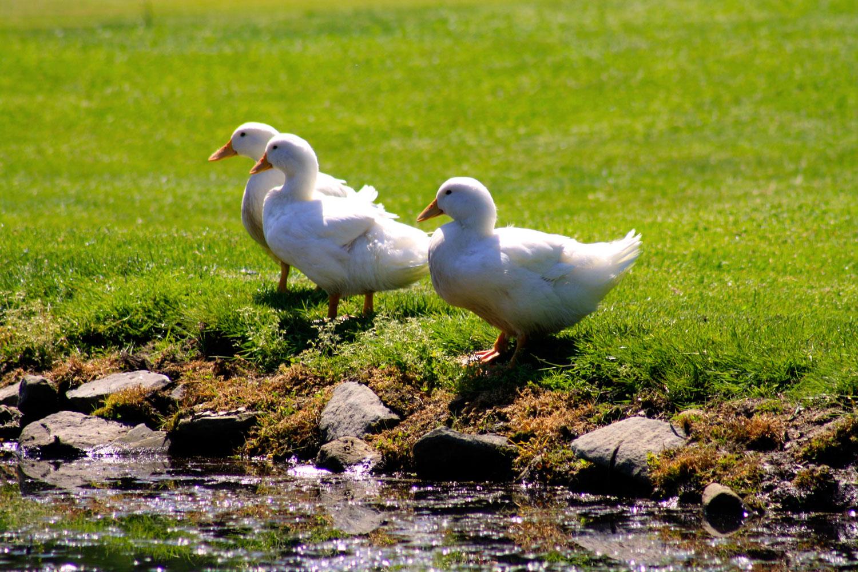 sv-pond-ducks.jpg