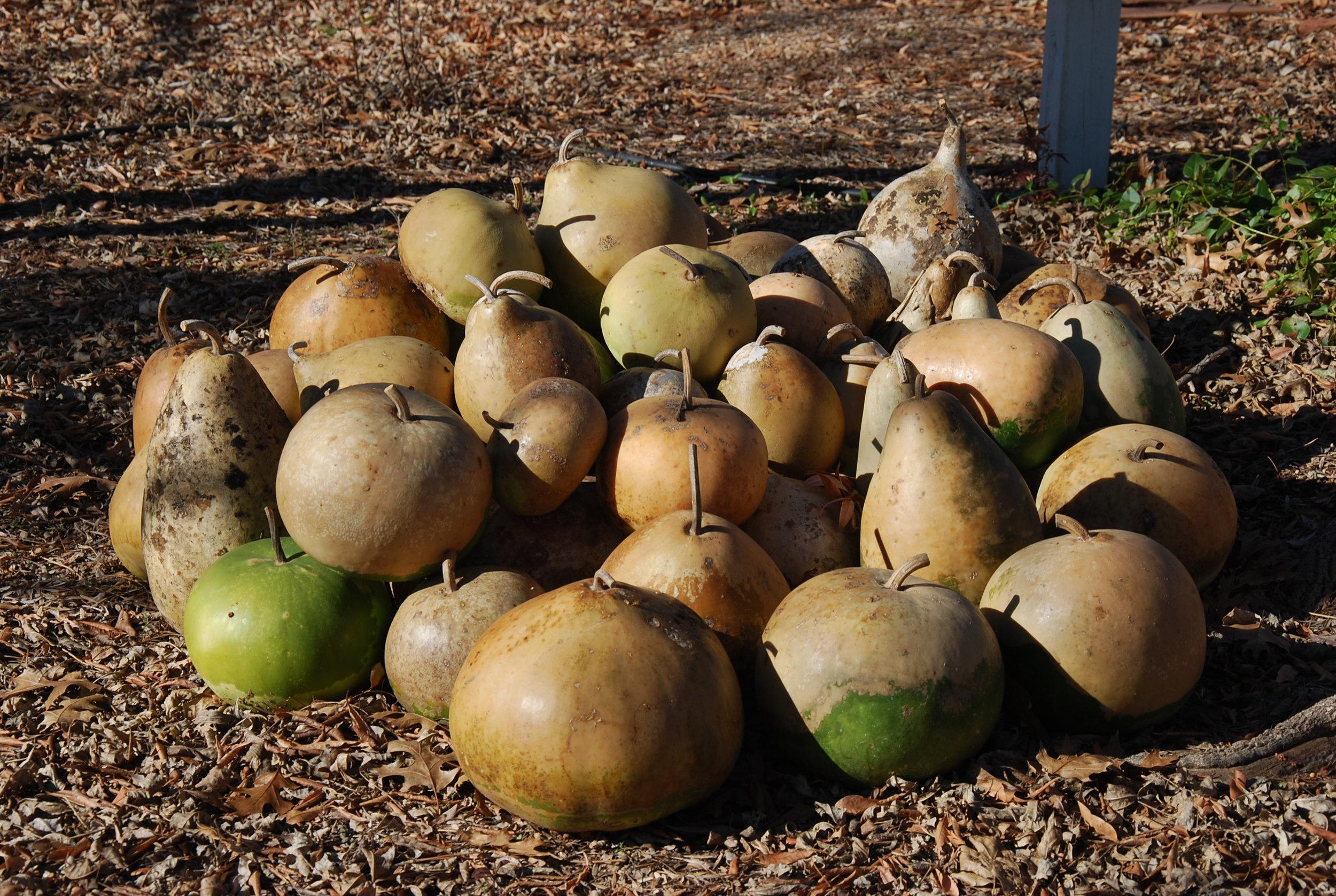 Gourd harvest