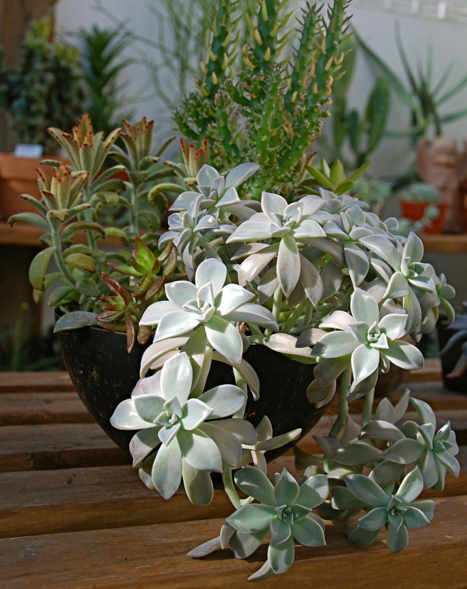 Graptopetalum paraguayense 'Ghost Plant', sedum, & cacti in copper container