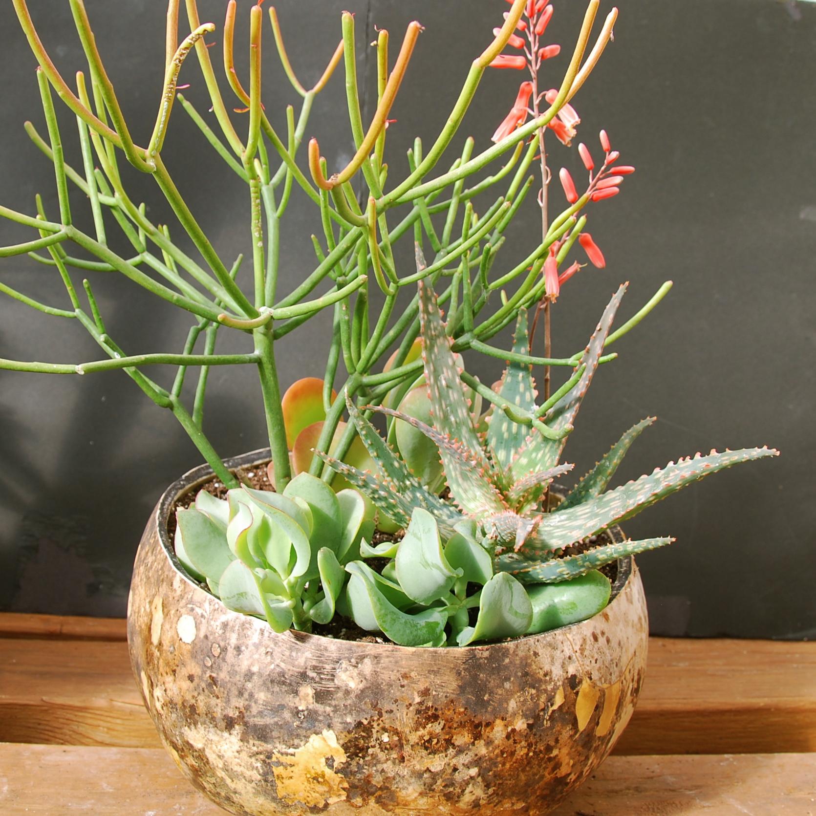 Euphorbia tirucalli 'Firesticks', Aloe 'Campfire', Crassula arborescens 'Ripple Jade' in gourd container