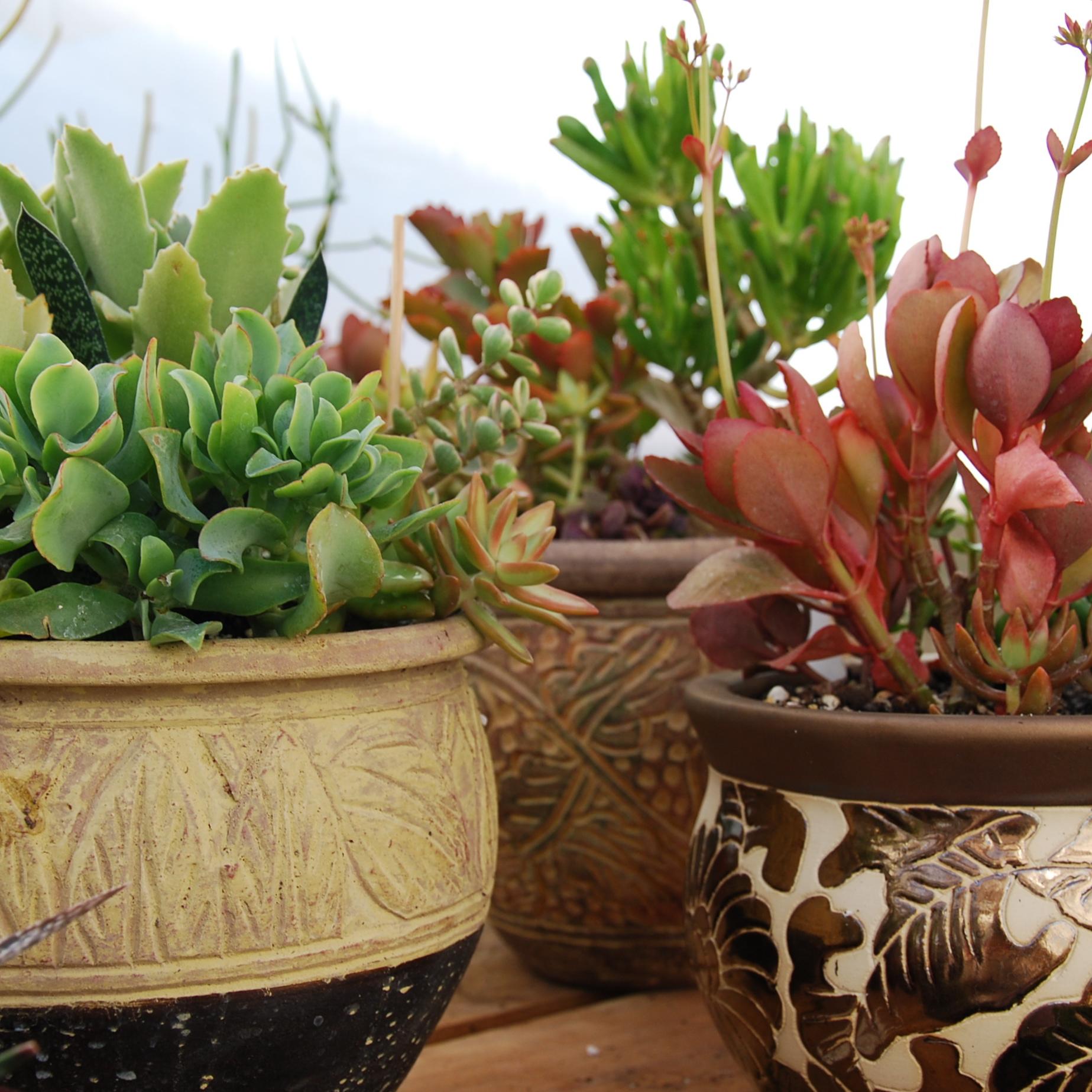 Succulent varieties in ceramic containers
