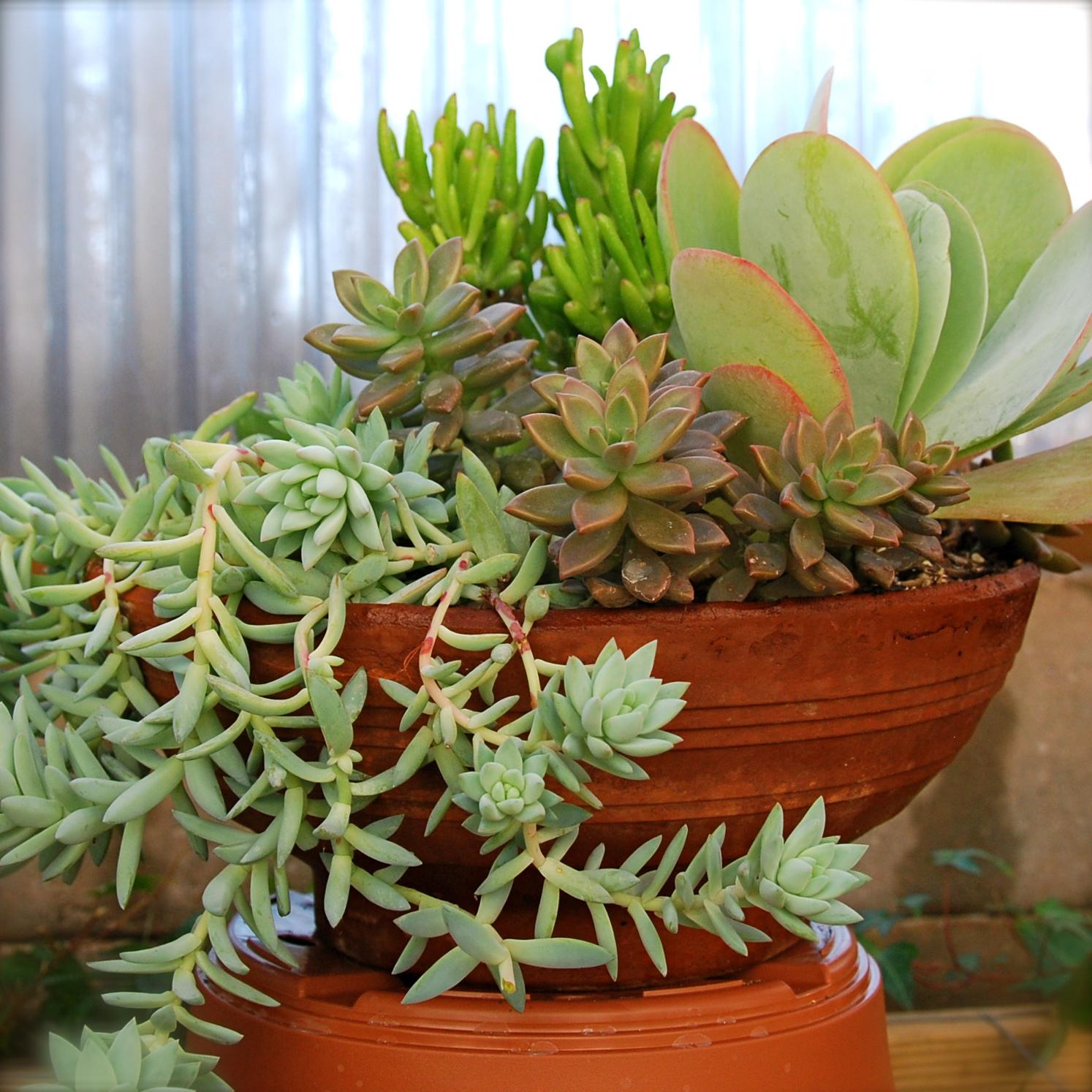 Sedum 'Blue Feathers', Crassula ovata 'Gollum', Kalanchoe 'Flap Jack', Sedevera 'Sorrento' in clay container