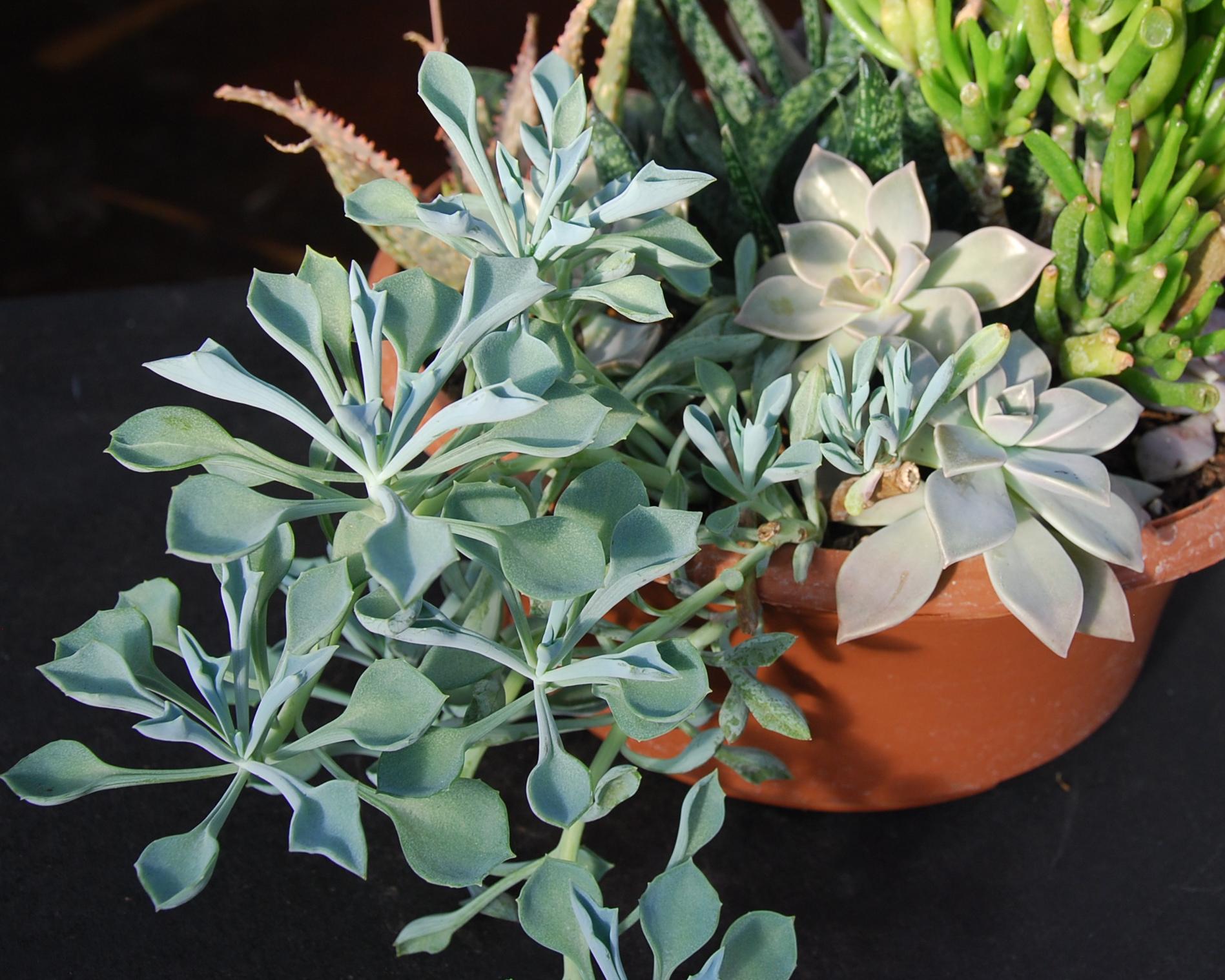 Senecio kleiniiformis 'Spear Head', Gasteria, Crassula 'Gollum', Graptopetalum paraguayense, 'Ghost Plant' in resin containers