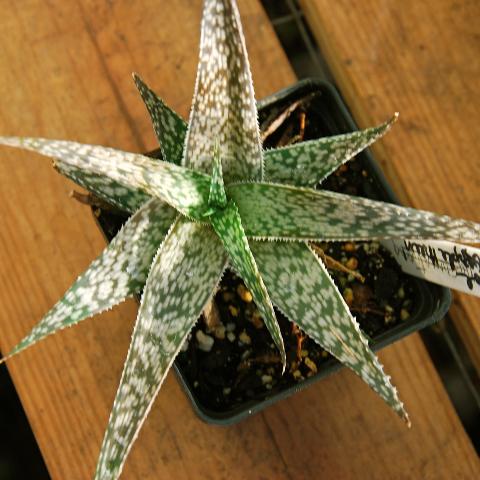 Aloe 'Dapple Green'