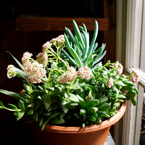 Crassula 'Springtime'