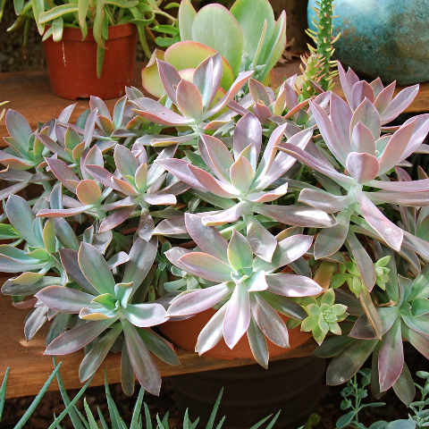 Graptoveria 'Fred Ives'