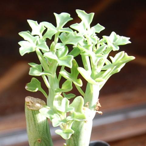 Senecio articulatus globosa 'Candle Plant'