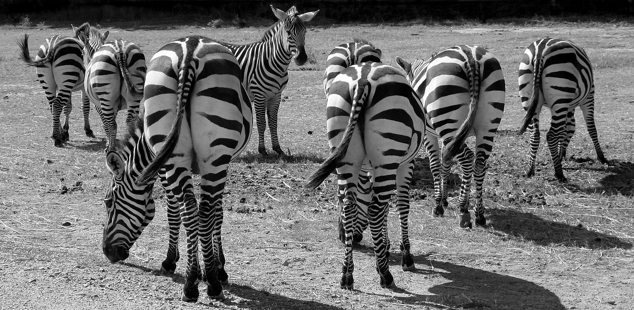 Zebras from behind