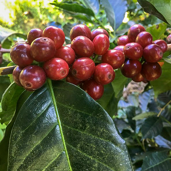 city-bean-photo-coffee-cherries-square-color.jpg