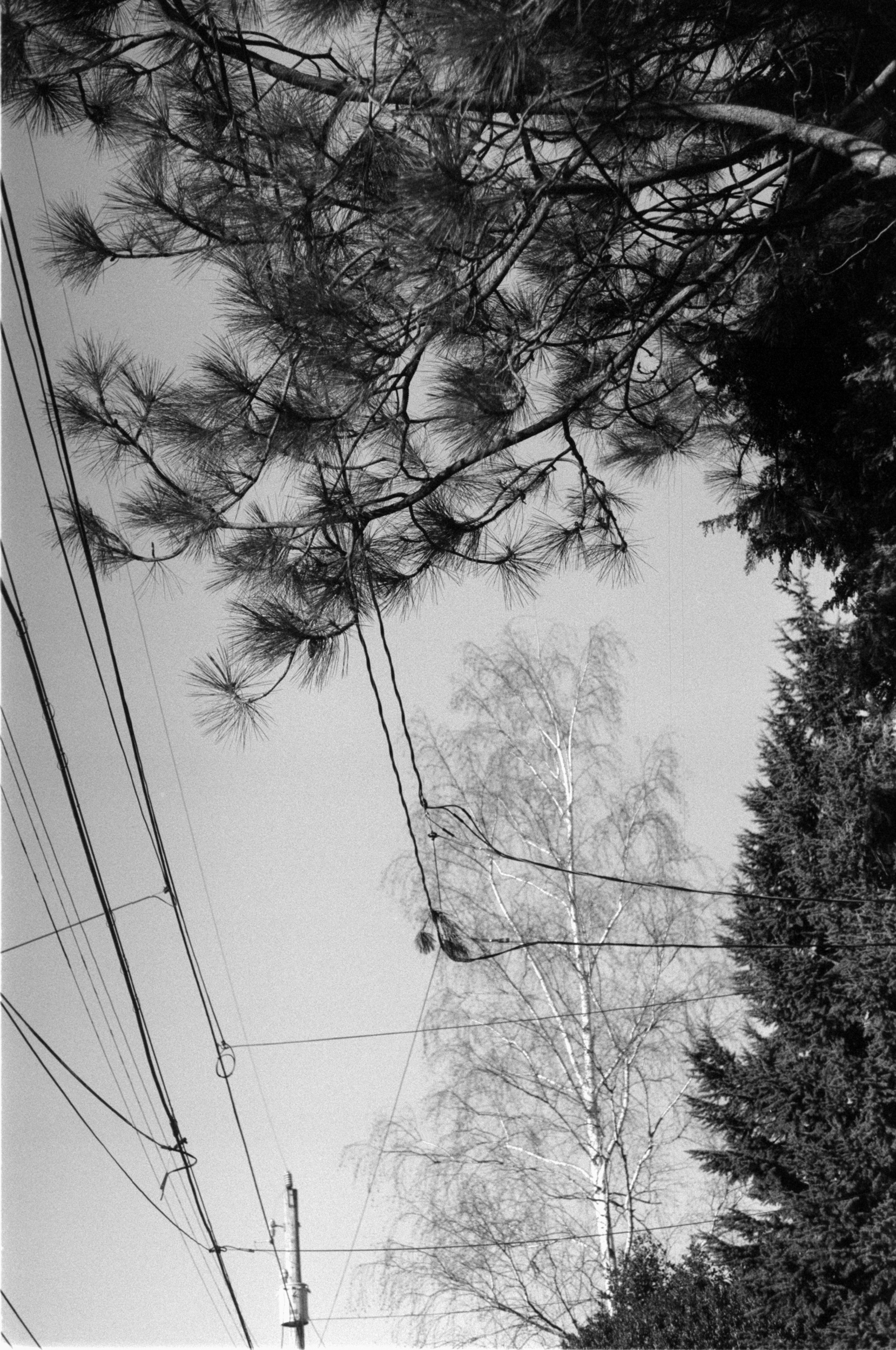 Hybrid strokes of trees and telephone lines.  Seattle, WA.