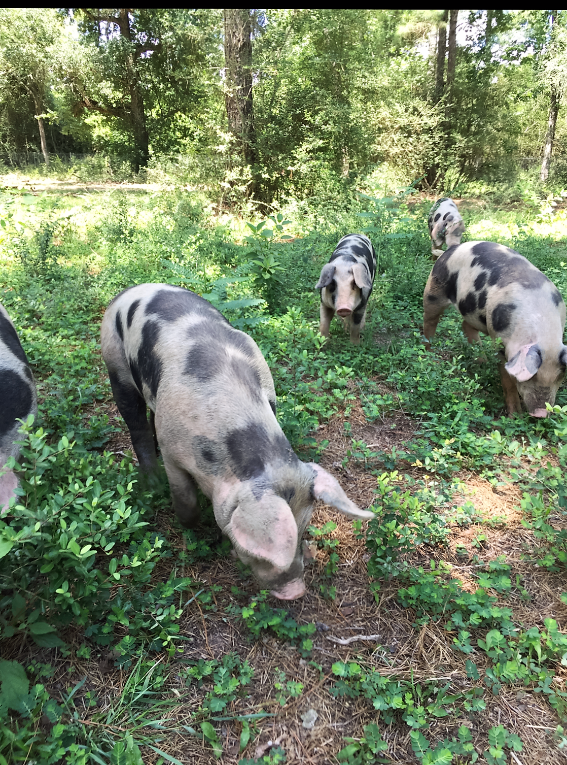 Forested Pork  Our pigs are raised as close to their natural habitat as possible. They are not given any antibiotics or growth hormones to ensure the best quality meat possible.