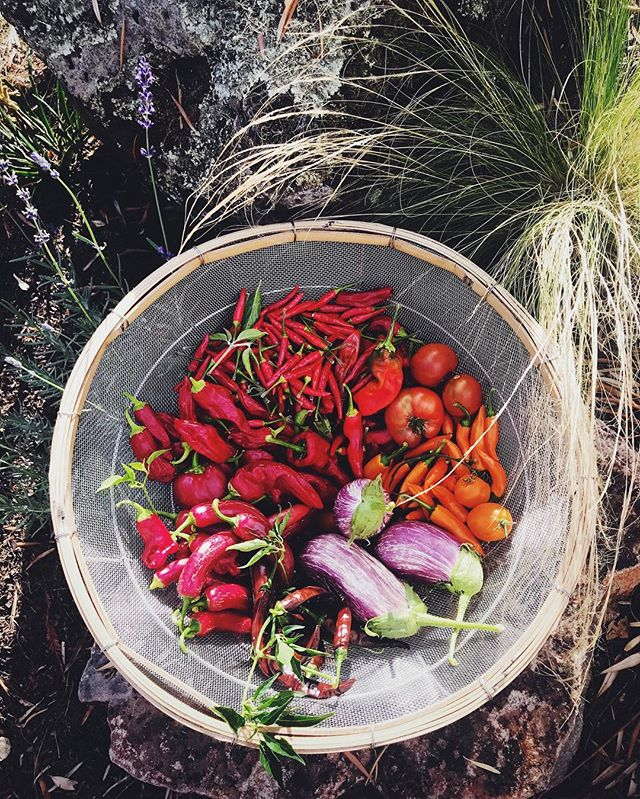 Harvested all the 🌶🌶🌶 today ! Trying our 2 methods of hot sauce making. Last year my fermented sauce was a total fail, 😭so I'm not putting all these fiery eggs in one bottle this goround  #evaskitchengarden #hotpeppers #hotsuace #bringontheheat