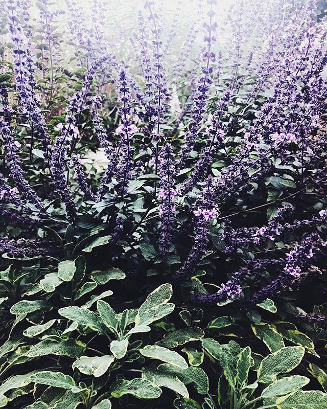 Note for my garden journal: Favorite plant pairings, variegated sage + magic mountain basil💞 #sage #magicmountainbasil #evaskitchengarden #backyardgarden #herbs #plantpairings
