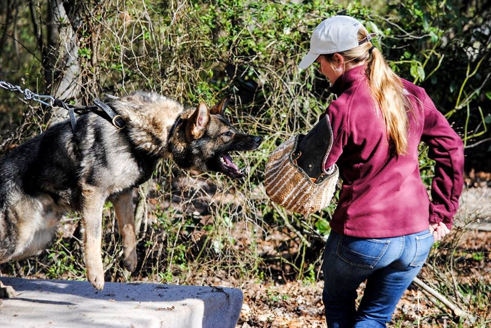woman-doing-bite-work-with-german-shepherd-on-agitation-table-large-breed-working-dog-detection-dog