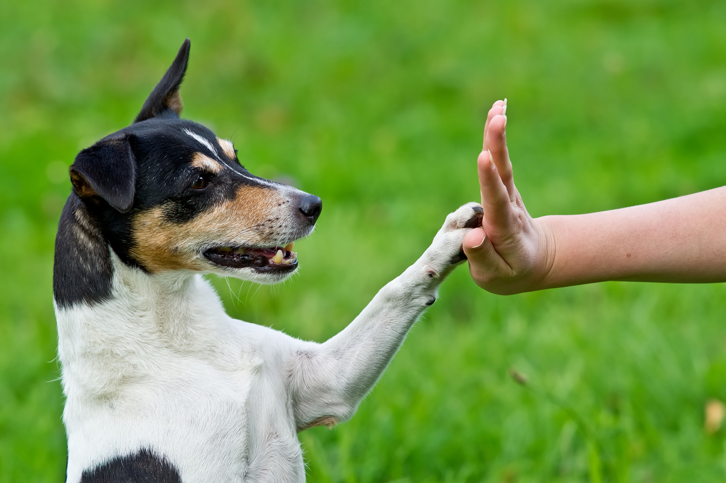 older-terrier-tricks-training-giving-high-five