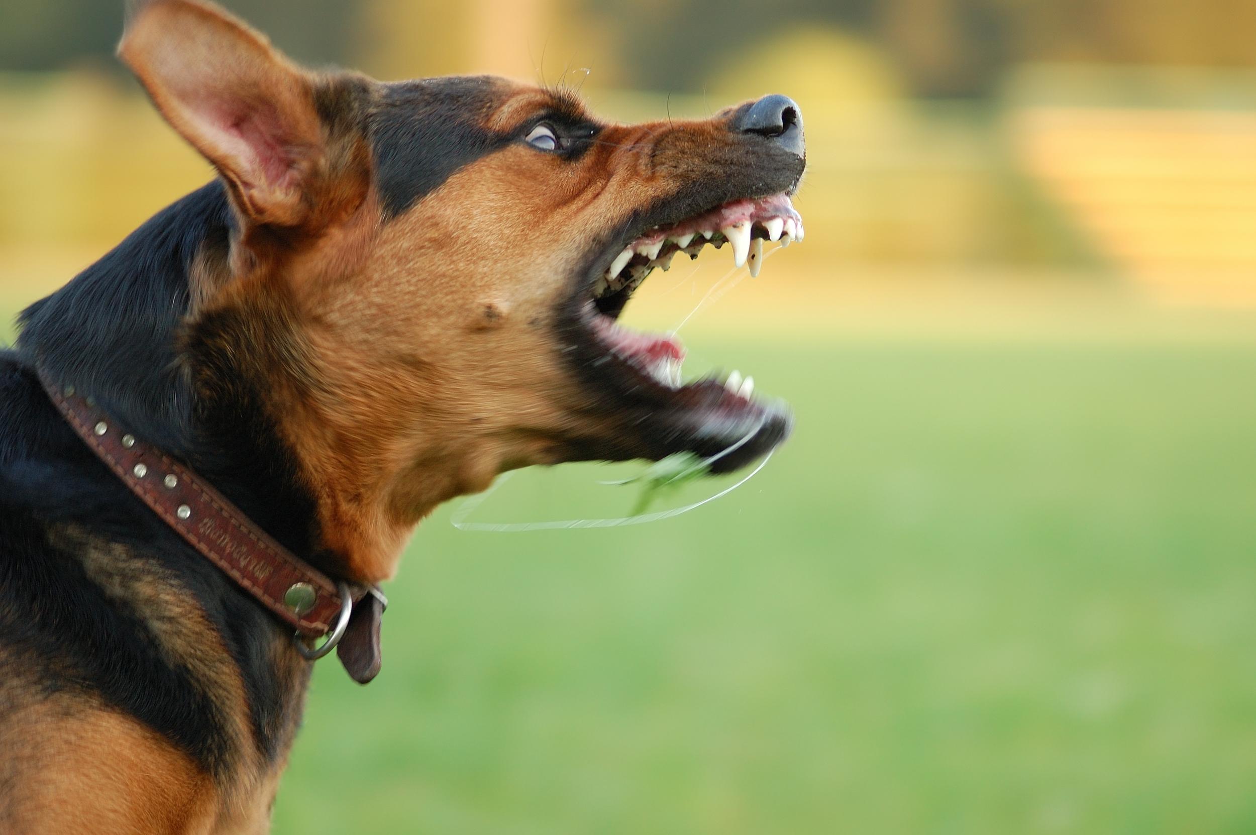 aggressive-dog-c-mouth-hound-dog-biting