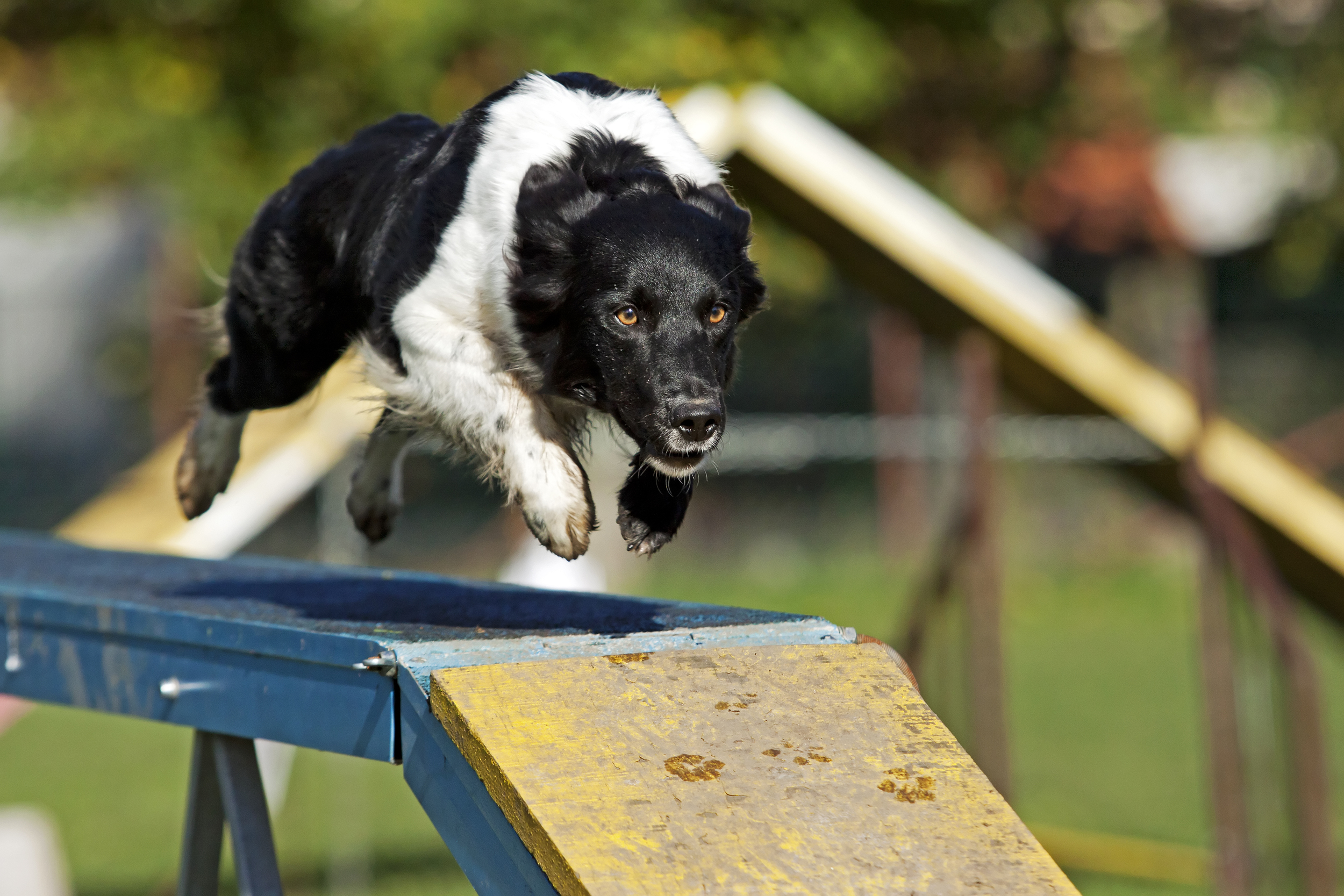 border-collie-running-over-dog-walk-agility