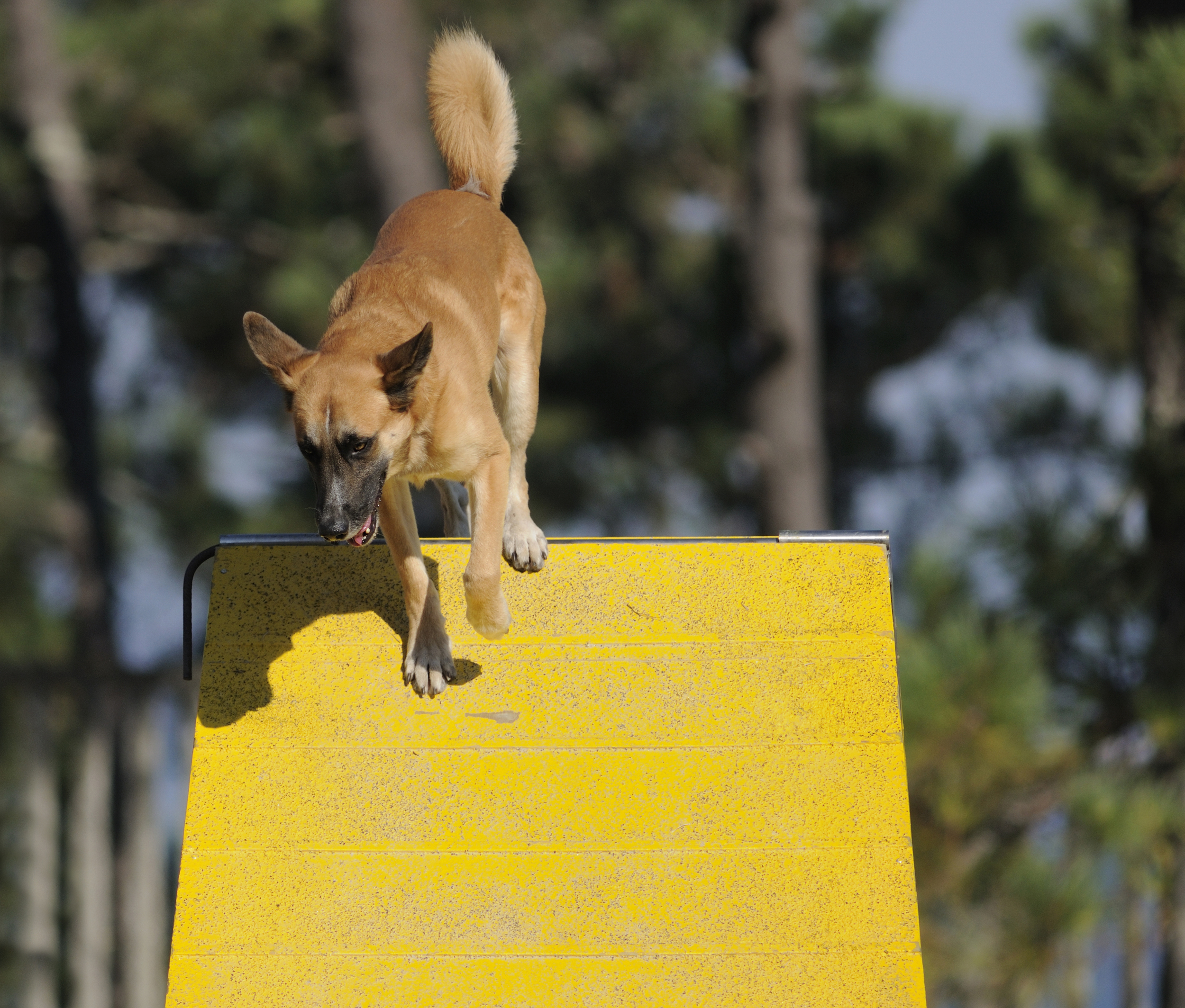 tan-dog-going-over-a-frame-agility-training