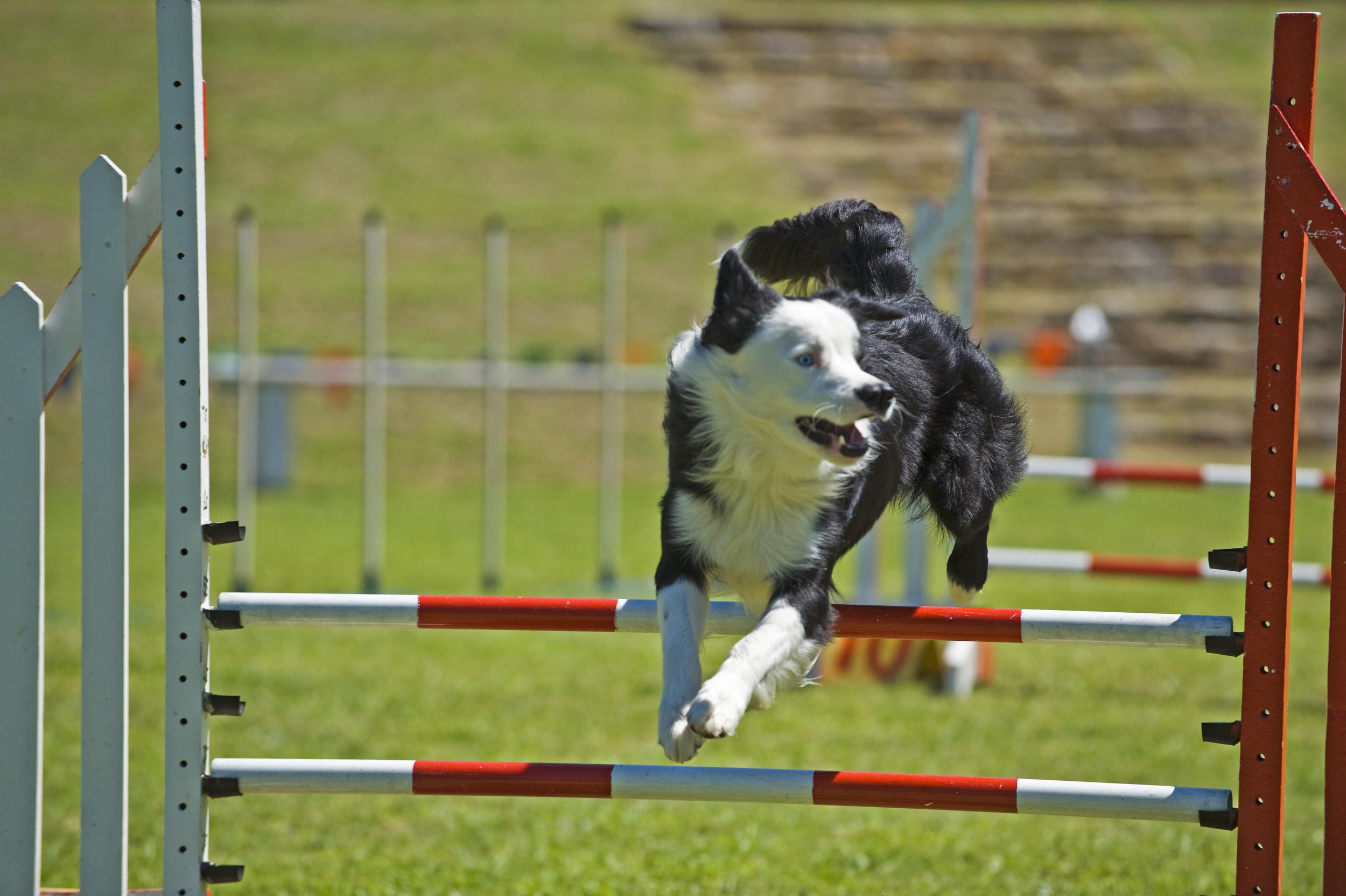 border-collie-jumping-over-jump-agility
