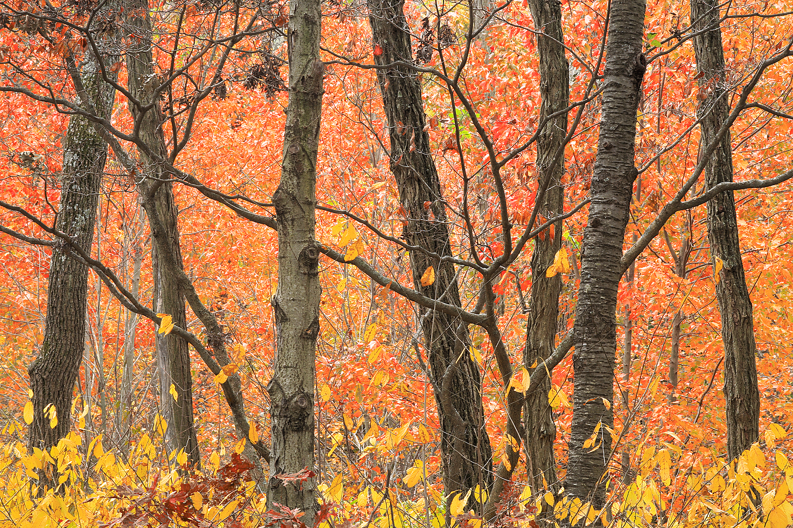 Tree Trunks and Autumn Color 14-25x9-5-1-1.jpg