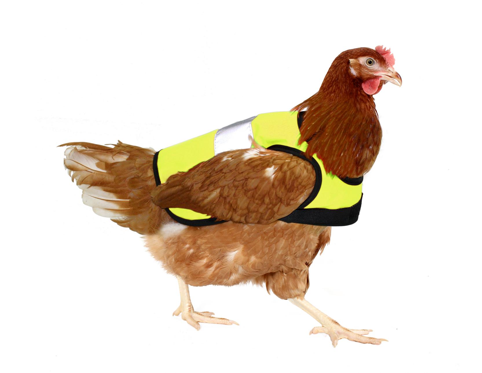 Protective Vests Help Chickens Cross the Road