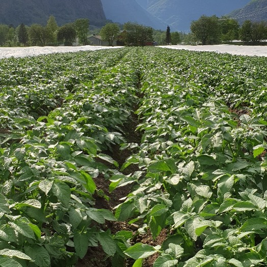 Det veks godt i potetåkrane i Lærdal. Me startar opptaket i midten av juni 👍  #lærdalgrønt #potetertilmarknaden