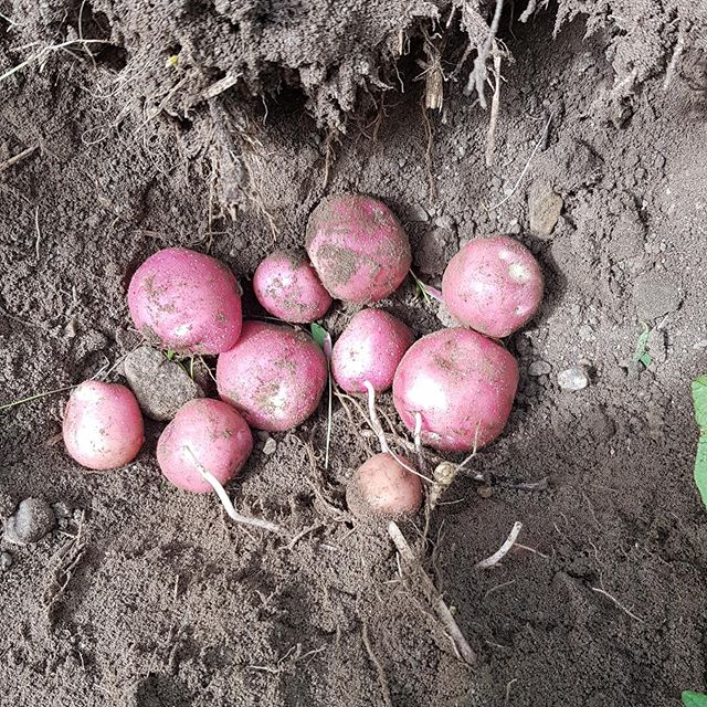 Potetene veks, trass låge temperaturar. Her frå dagens graveprøve i ein Juno-åker. Snart klart! #lærdalgrønt