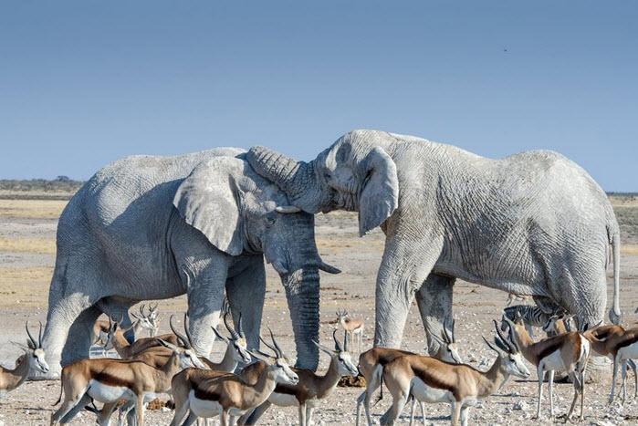 Elephant ivory update.jpg