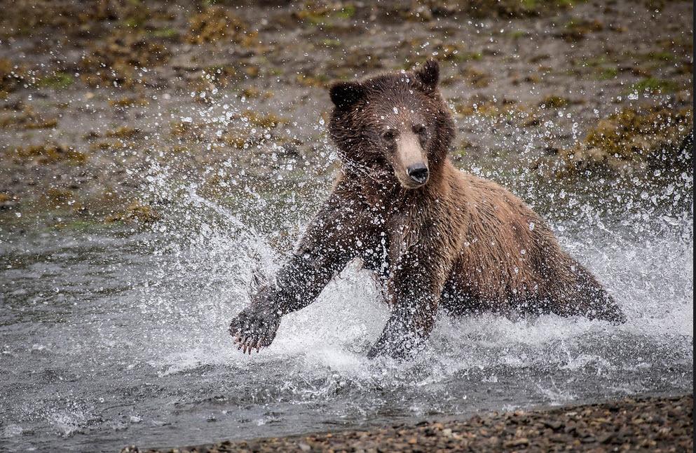 HP Grizzly bear.jpg