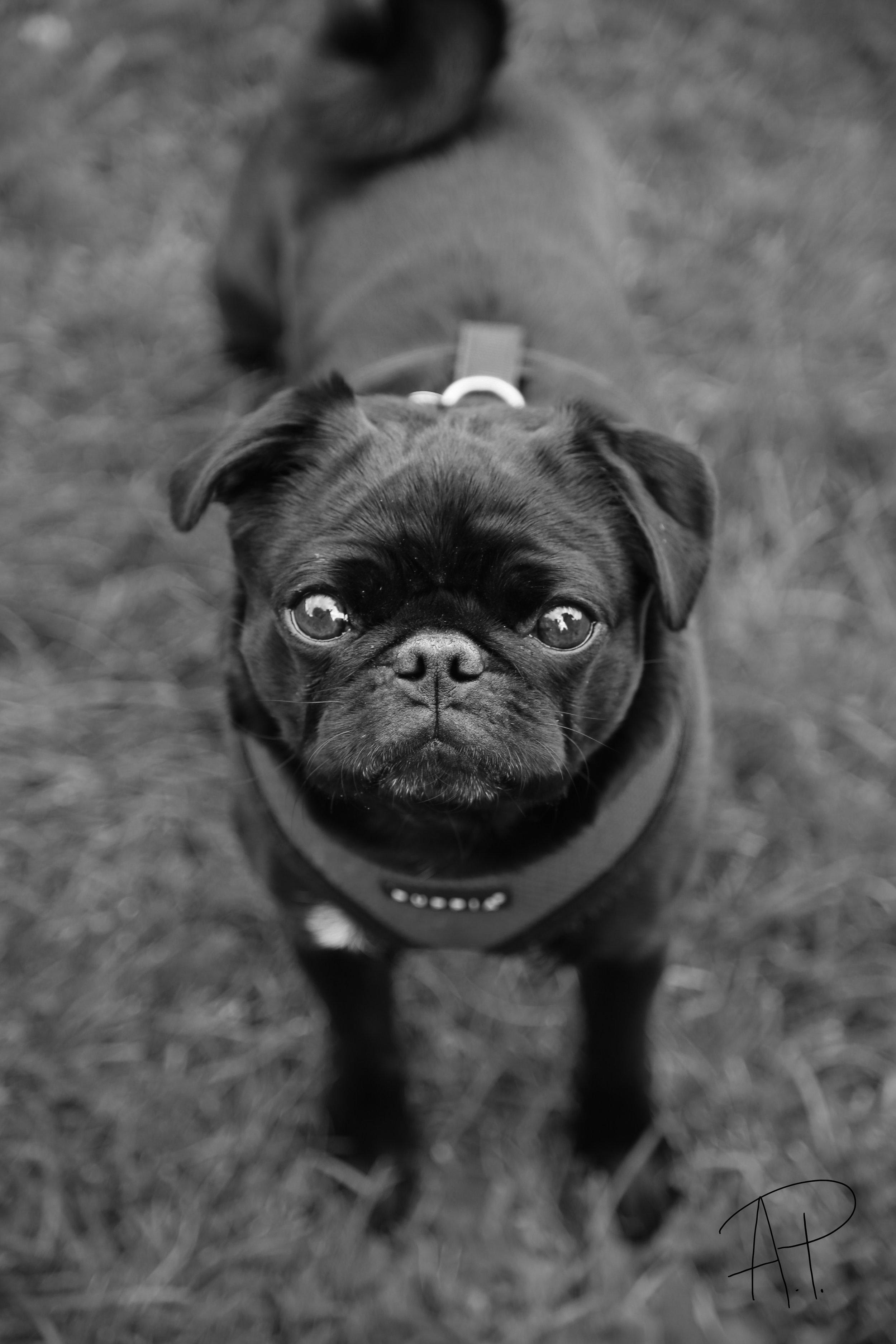 Frankie Pug