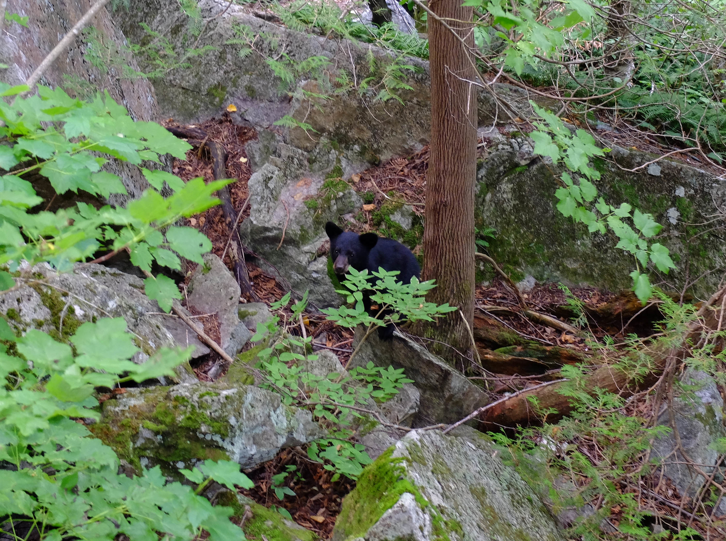 August - A family of Black Bears visiting our UVM TREK orientation group climbing at the Beer Wall