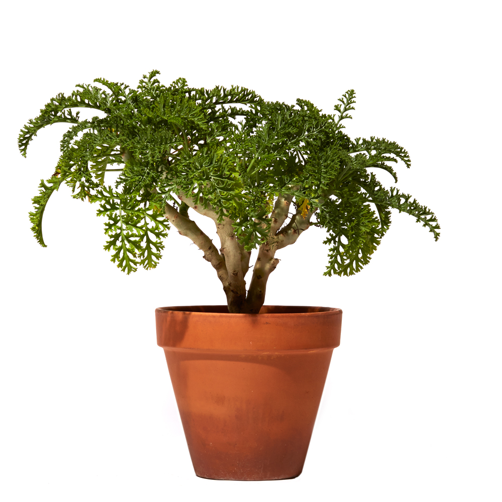 Pelargonium dasycaulon