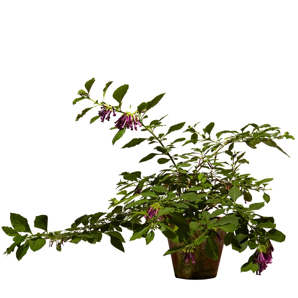 Iochroma cyaneum 'Royal Purple'