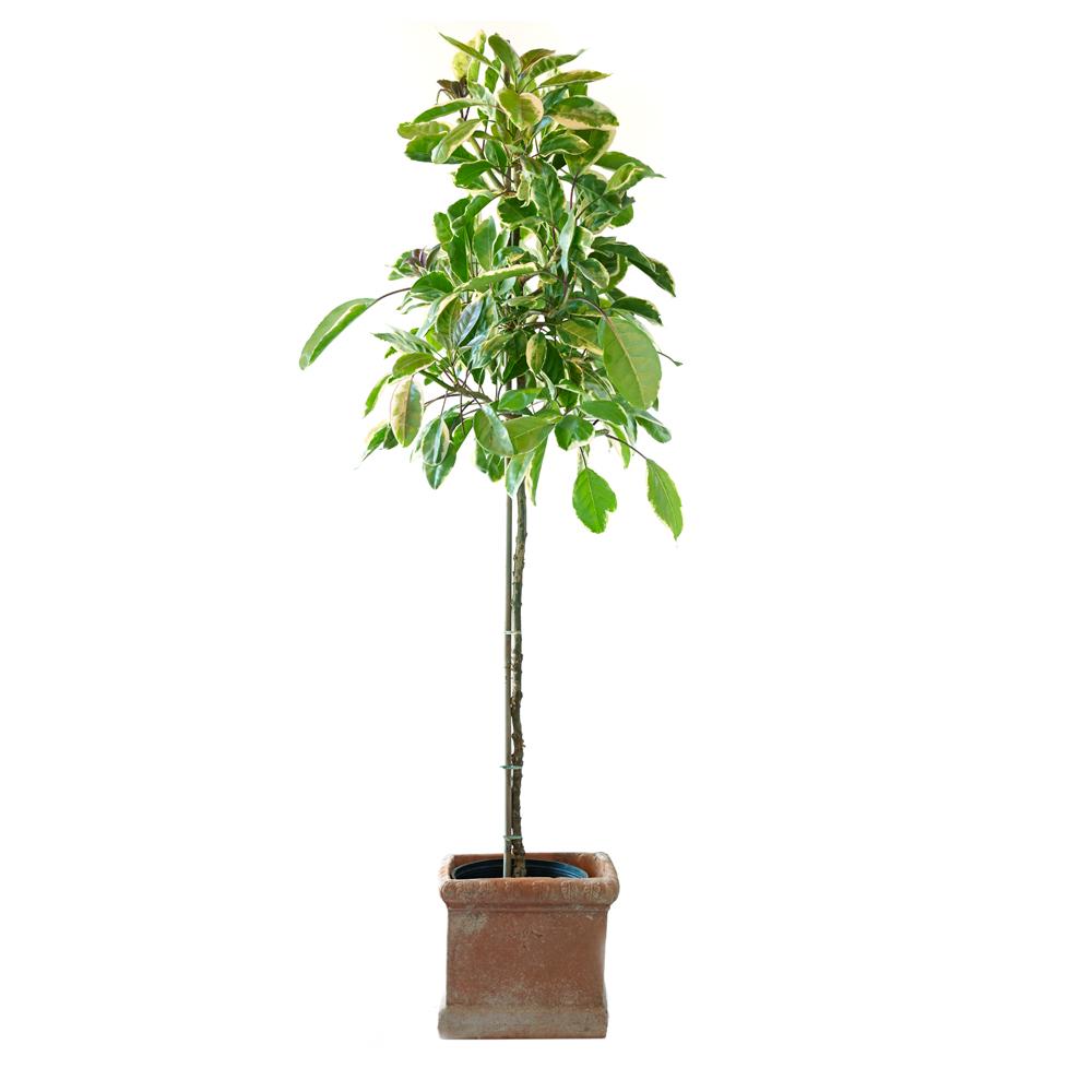 Solandra maxima variegata
