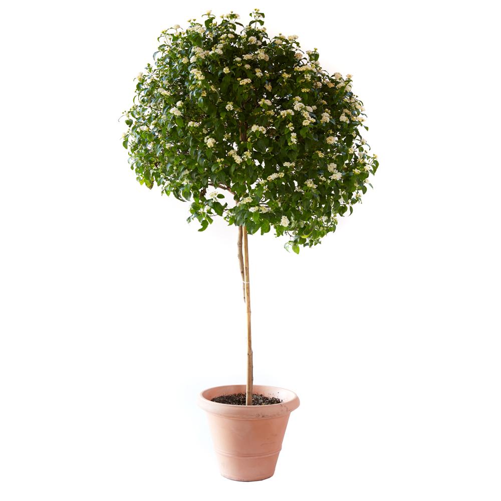 Lantana montividensis 'Alba'