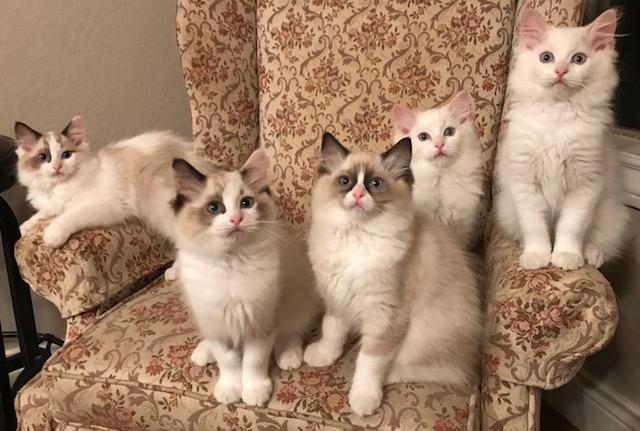 Love these Ragdoll kittens and their variety of colors and patterns.  Beautiful seal tortie bicolor girl along with her red bicolor brothers and our traditional seal bicolor kittens.