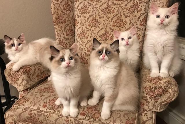 Ping and Lorenzo's kittens. Born 01/25/2018.