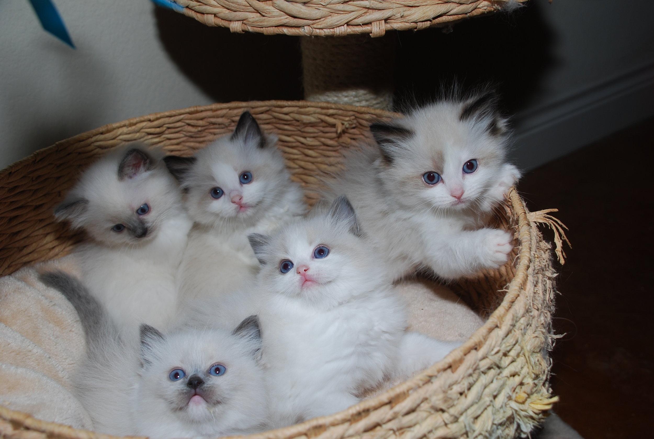 Valentine and Lorenzo's kittens. Born 05/05/2018.