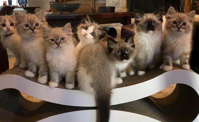 Anastasia and Lorenzo's kittens. Born 10/04/2018.