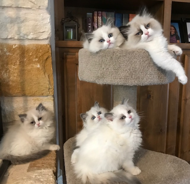 Eliza and Joop's kittens. Born 12/13/2018.