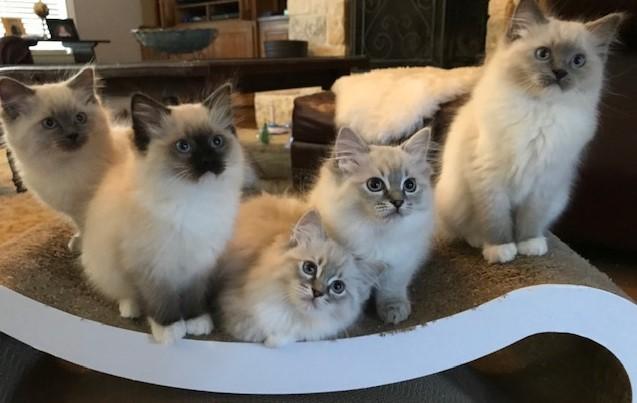 Elsa and Lorenzo's kittens. Born 12/25/2018.