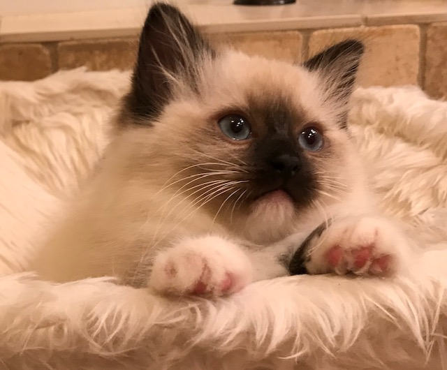 All of our Ragdolls are TICA and CFA registered with pedigrees, negative for HCM, PKD, MPS VI, FeLV, FIV, and are regularly vaccinated.