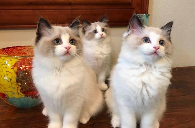 Lotte and Doc's kittens. Born 03/13/2019.