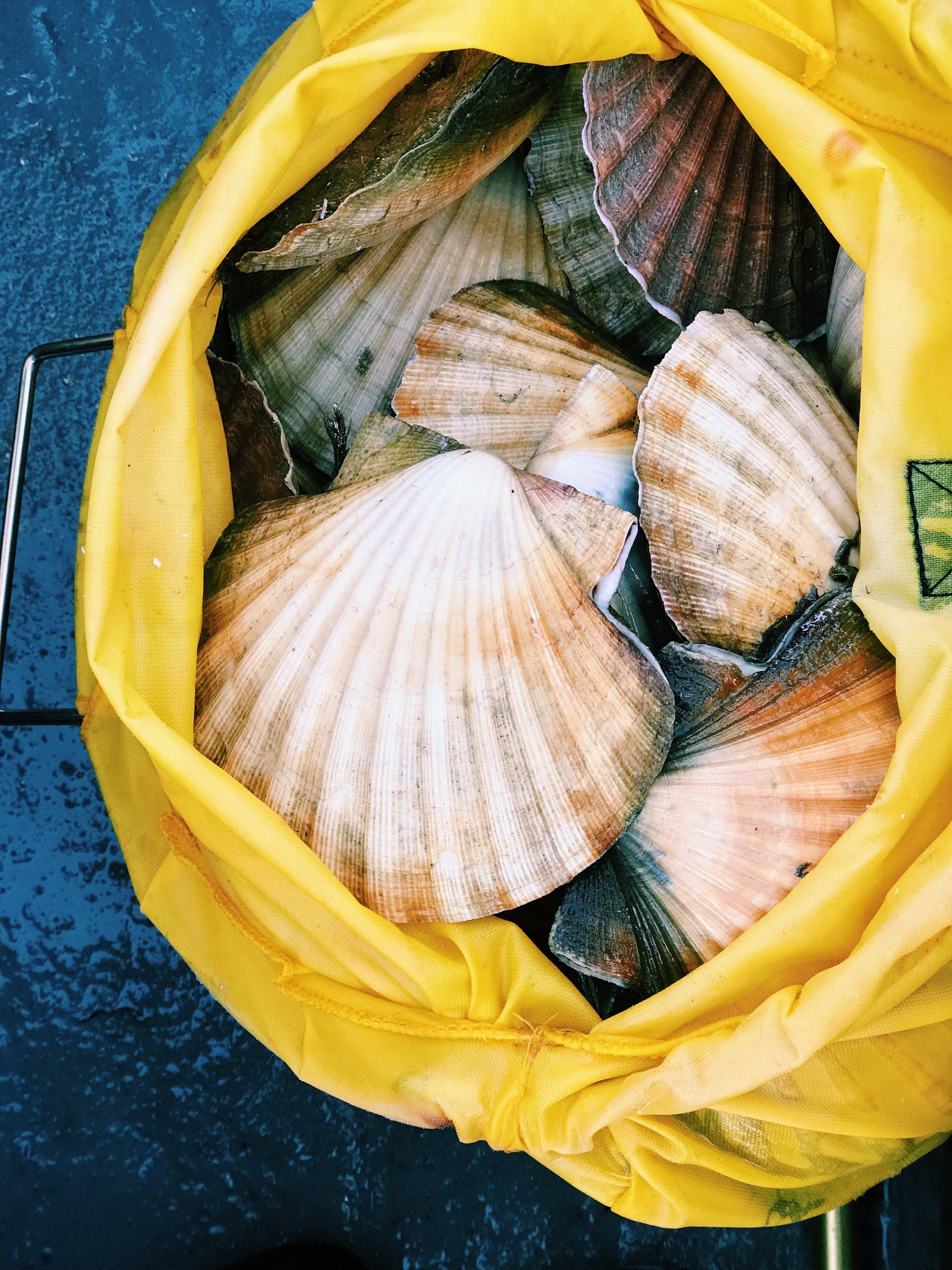 bivalve-clam-scallop-1368519.jpg