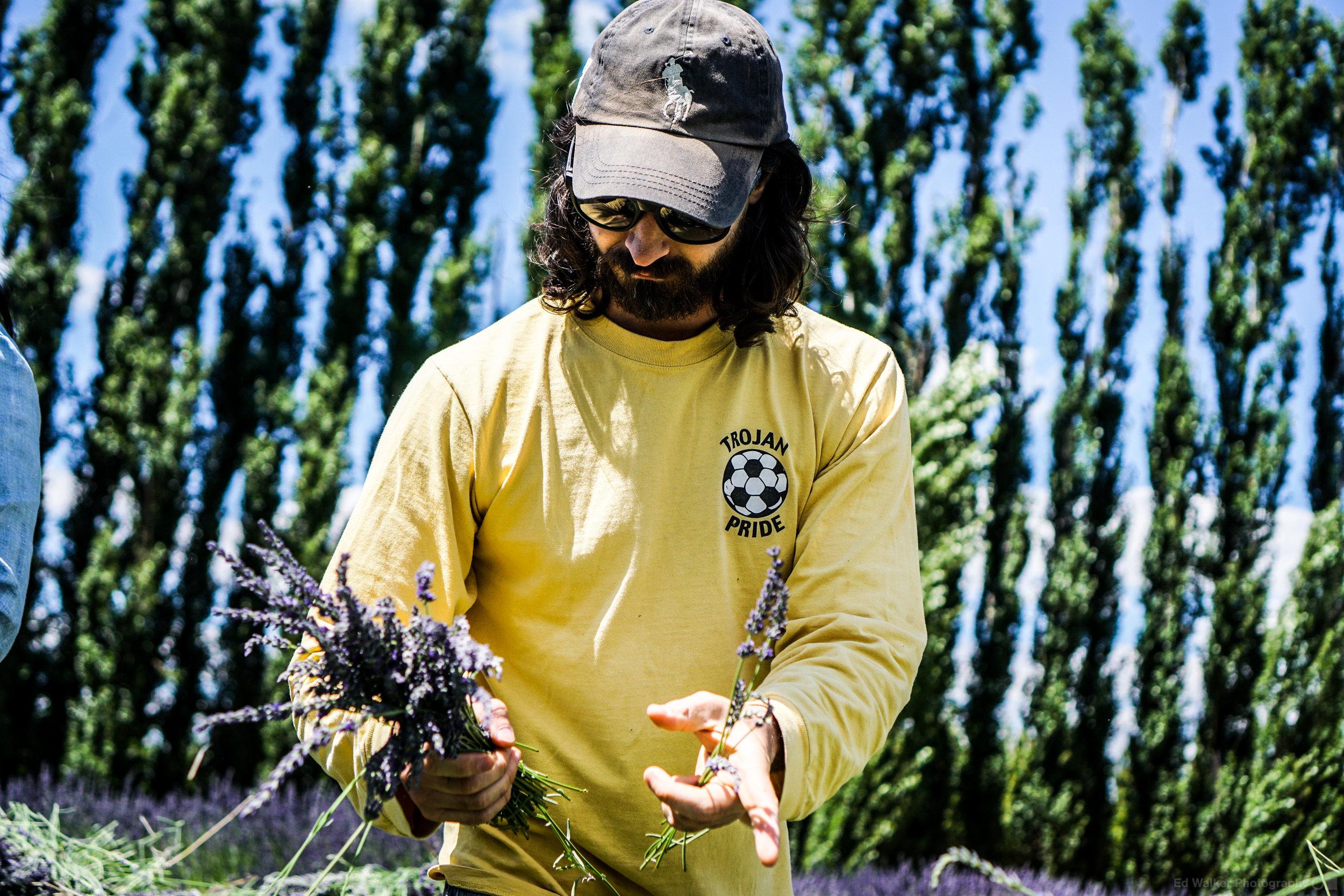 A CSA member bunches Lavender.